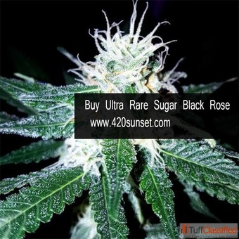 Buy Ultra Rare Sugar Black Rose Aaaa+ Online | 420sunset.Com