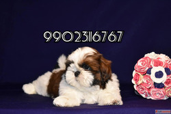 top quality shihtzu puppies for sale in bangalore